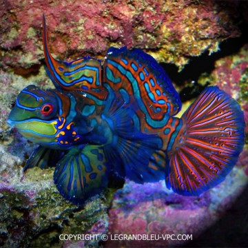 SYNCHIROPUS splendidus en couple