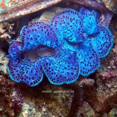 TRIDACNA maxima bleu xl