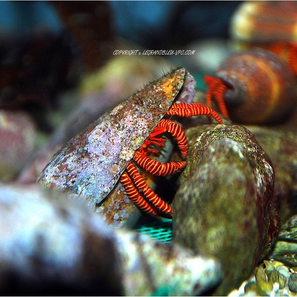 Trizopagurus strigatusbernard l 39 hermite aquarium recifal vpc for Aquarium vpc