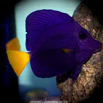 Zebrasoma xanthurum poisson chirurgien aquarium vpc for Aquarium vpc