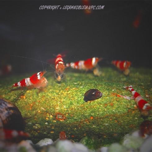 CARIDINA sp red crystal