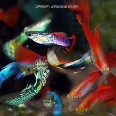 GUPPY male (bleu ,rouge,jaune, lyre)