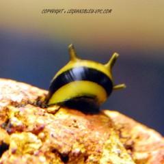 NERITINA sp zebra thorn black/yellow