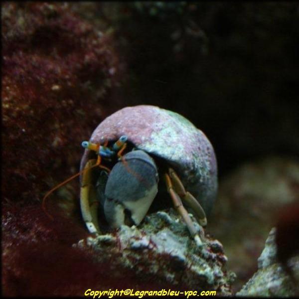 Calcinus tibicens bernard l 39 hermite aquarium recifal vpc for Aquarium vpc