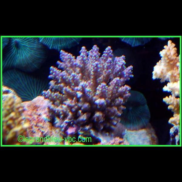 Acropora nana staghorn tricolore sps aquarium recifal vpc for Aquarium vpc