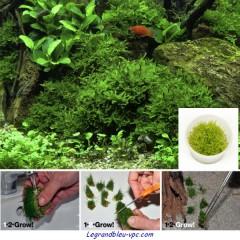 Vesicularia dubyana 'Christmas' Tropica 1-2 Grow