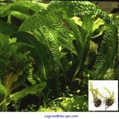 Aponogeton boivinianus - Tropica
