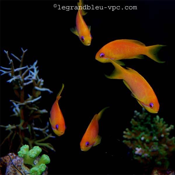 Pseudanthias squamipinnis aquarium recifal vpc for Poisson vpc