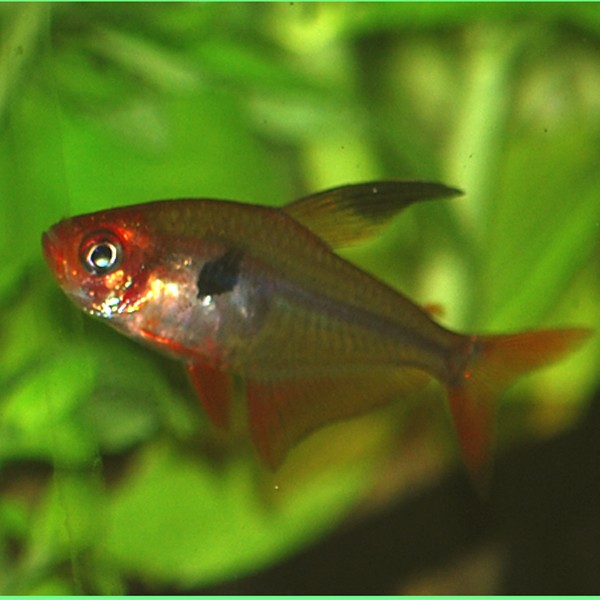 Megalamphodus sweglesi for Bac communautaire poisson rouge