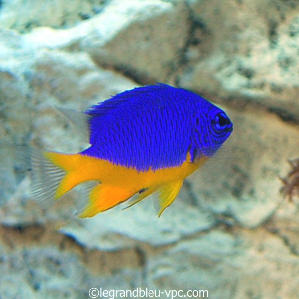 Chrysptera hemicyaena demoiselle aquarium recifal vpc for Aquarium vpc