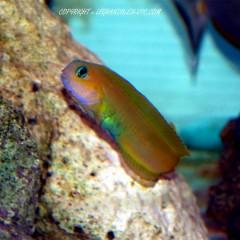 ECSENIUS midas petite blennie jaune pour aquarium recifal