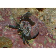 BERNARD l'hermite  (small)