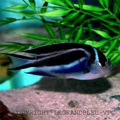 GENIACANTHUS bellus femelle poisson ange de petite taille raye bleu et blanc et compatible bac recifal