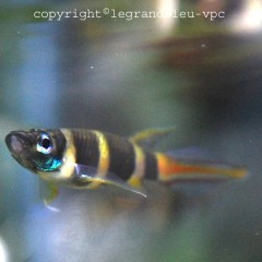 EPIPLATY annulatus petit killi africain raye jaune et noir queue rouge et bleue