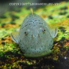 CHAESTOSOMA thomsoni poisson algivore de taille moyenne