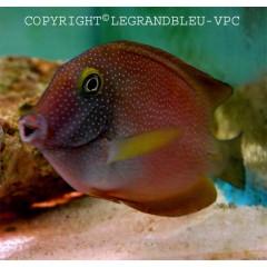 CTENOCHAETUS truncatus poisson chirurgien herbivore