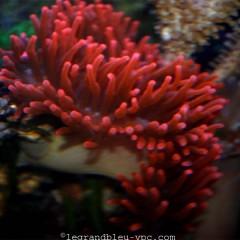 ENTACMEA quadricolor rouge