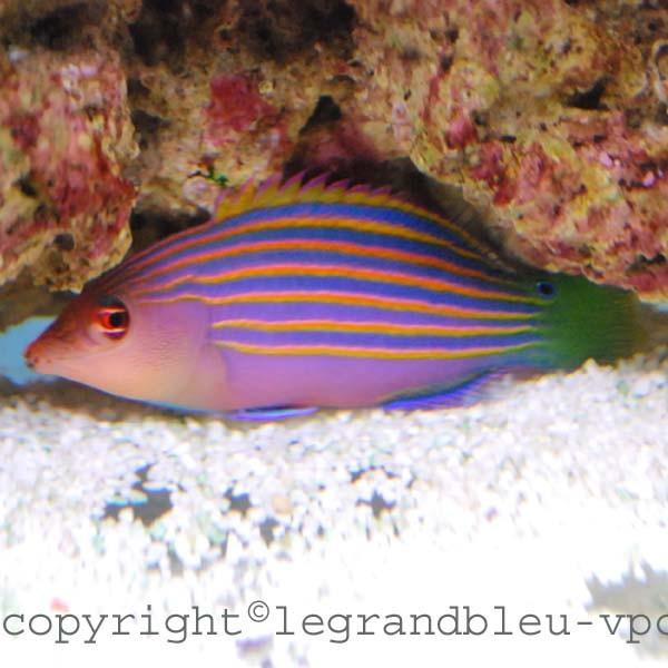 Pseudocheilinus hexataenia aquarium recifal vpc for Poisson vpc