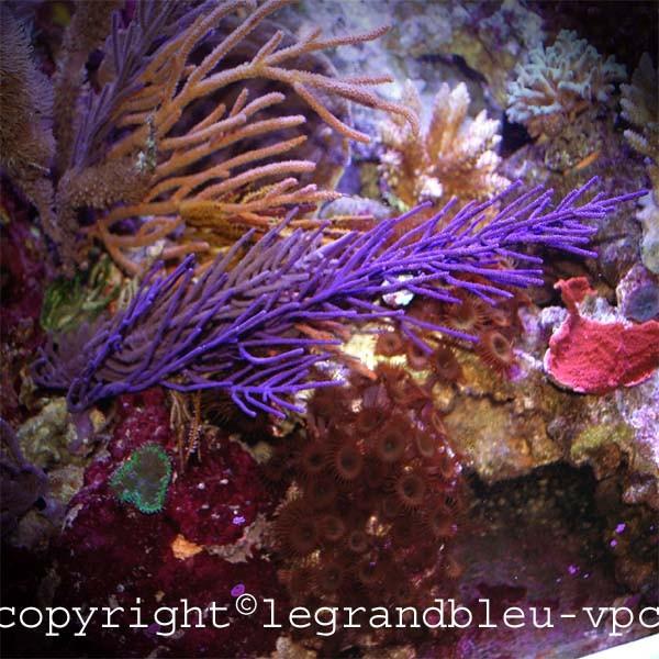Pseudopterogorgia sp gorgonne symbiotique aquarium recifal vpc for Aquarium vpc