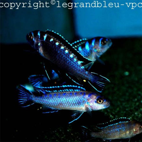 PSEUDOTROPHEUS sp elongatus neon spot