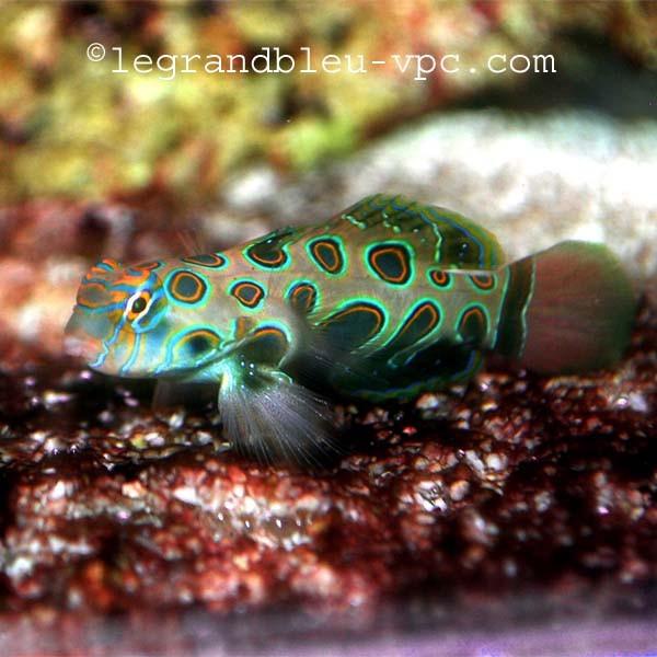 Synchiropus picturatus aquarium recifal mandarin vpc for Aquarium vpc