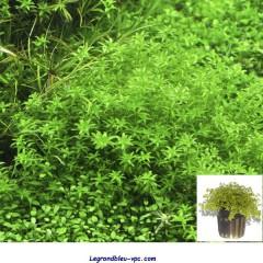 Hemianthus micranthemoides Tropica