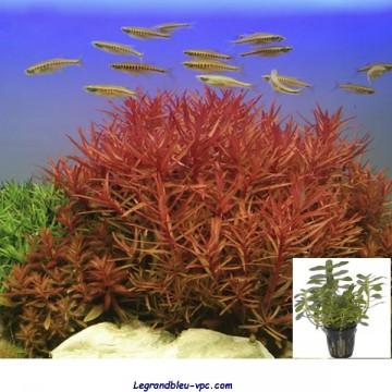 Nesaea crassicaulis Tropica