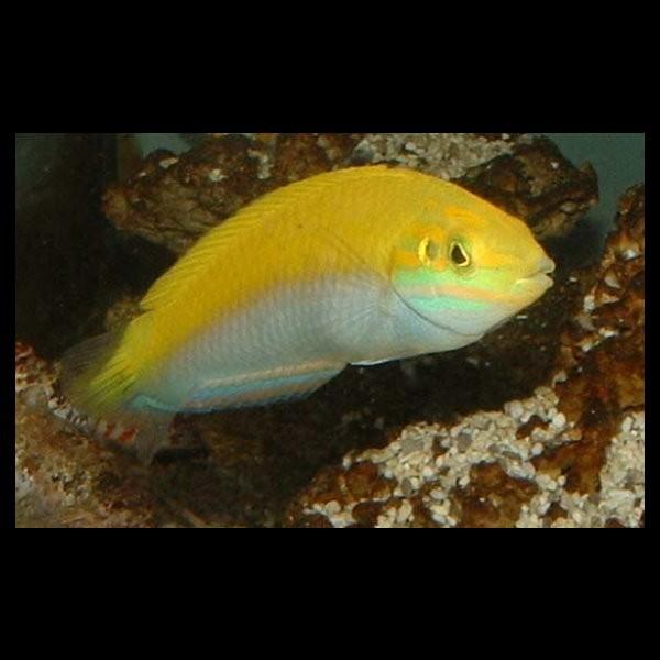 Halichoeres chrysus labres poisson aquarium vpc for Poisson vpc