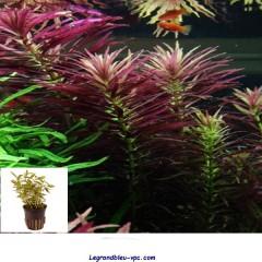 Limnophila  hippuridoides  Tropica