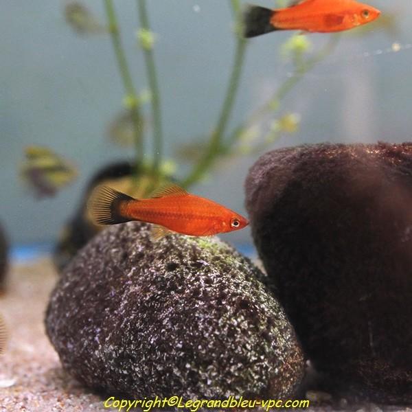 Xyphophorus helleri rouge le grand bleu for Bac communautaire poisson rouge