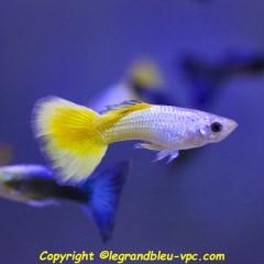 GUPPY male jaune selectionne