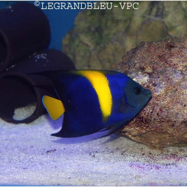 Pomacanthus asfur poisson ange fo vpc for Poisson vpc