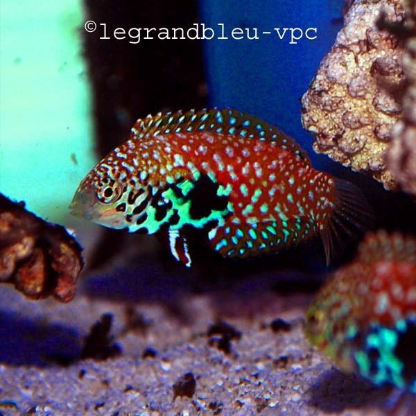 Macropharyngodon bipartitus labres aquarium vpc for Poisson vpc