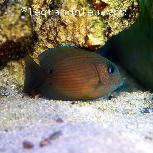 Ctenochaetus binotatus aquarium recifal vpc poisson chirurgien for Achat aquarium eau de mer