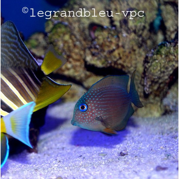 Ctenochaetus binotatus aquarium recifal vpc poisson chirurgien for Poisson vpc