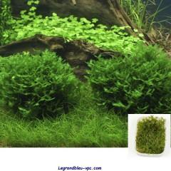 Monosolenium tenerum  Tropica - Barquette