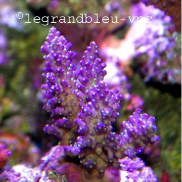 ACROPORA nana staghorn tricolore