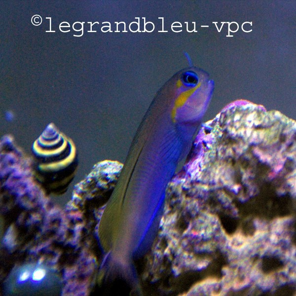 Ecsenius midas petite blennie jaune herbivore pour for Poisson vpc