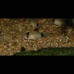 CORYDORAS panda lot de 5