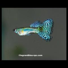 GUPPY male bleu diamant selectionne