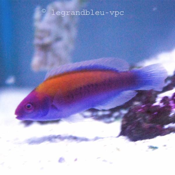Cirrhilabrus aurantidorsalis aquarium vpc recifal for Poisson vpc
