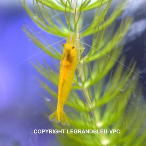 CARIDINA heteropoda var.yellow rice