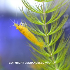 CARIDINA heteropoda var.yellow rice lot de 5