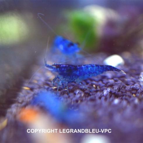 NEOCARIDINA denticulata blue velvet lot de 5