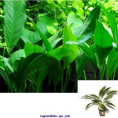 Anubias bartheri var. angustifolia - Tropica