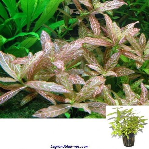 Hygrophila polysperma rosanervig  Tropica