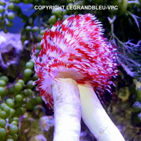 PROTULA bispiralis rouge et blanc