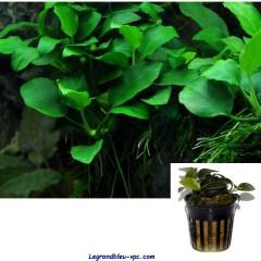 Anubias ' Petite ' - Tropica