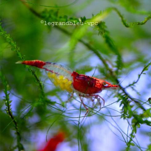 NEOCARIDINA denticulata red rilli