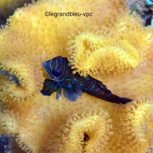 SARCOPHYTON elegans Fidji